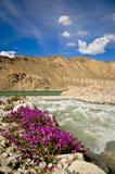 Wildflowers púrpuras en el lago Bulukul, Tajikistan Foto de archivo