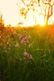 Wildflowers púrpuras en la puesta del sol en el campo Imagen de archivo