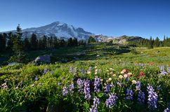 Wildflowers in Paradise, Mt. Rainier National Park Royalty Free Stock Image