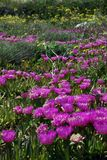 Wildflowers - Paros, Griekenland Stock Fotografie