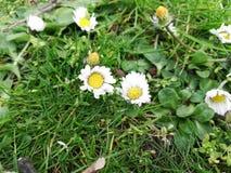 Wildflowers pequenos na estação de mola fotografia de stock