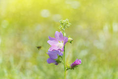 Wildflowers pink-purple bee bokeh. Wildflowers pink-purple shade on a soft background meadows, bee collecting honey, bokeh Royalty Free Stock Photo