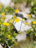 Wildflowers pirenáicos Fotos de archivo libres de regalías