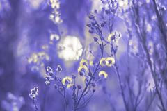Wildflowers plumeux dans la lumière du ` s d'aube Photos stock