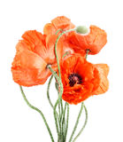Wildflowers poppies Royalty Free Stock Images