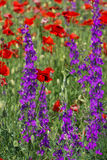 Wildflowers: poppies lat. Papaver and delphinium lat. Delph�nium royalty free stock images