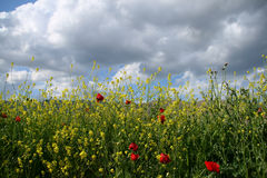 Wildflowers. Poppies and wildflowers in the village of hasankeyf in southern turkey stock image