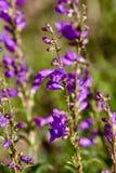 Wildflowers porpora Immagini Stock