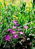 Wildflowers porpora Immagine Stock Libera da Diritti