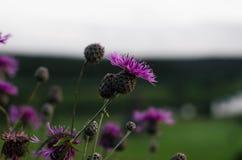 Wildflowers porpora Fotografie Stock
