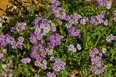 Wildflowers porpora delle bacchette Fotografia Stock Libera da Diritti