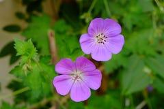 Wildflowers porpora a filigrana immagini stock libere da diritti