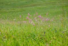 Wildflowers porpora sulle alpi svizzere Fotografia Stock