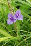 Wildflowers pourprés de Spiderwort s'élevant dans un pré image libre de droits