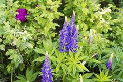 Wildflowers pourpres en gros plan sur le champ Image libre de droits