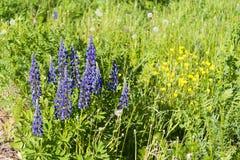 Wildflowers pourpres en gros plan sur le champ Photographie stock libre de droits