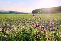Wildflowers pourpres sur un jeune champ de maïs au coucher du soleil photos stock