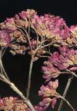 Wildflowers presionados Fotografía de archivo libre de regalías