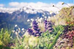 Wildflowers, primo piano, fiorente nel prato alpino Fotografia Stock Libera da Diritti