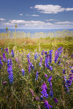 Wildflowers on Prince Edward Island Royalty Free Stock Images