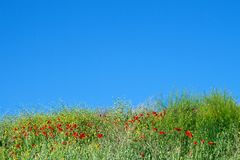 Wildflowers and red poppies against a bright blue sky. Great. Background Royalty Free Stock Image