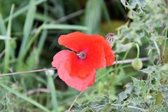 Wildflowers, Red Poppies in Nature Stock Images