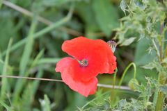Wildflowers, Red Poppies in Nature Stock Photo