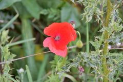 Wildflowers, Red Poppies in Nature Royalty Free Stock Photography