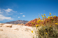 Wildflowers in Red Rock Canyon Stock Images