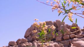 Wildflowers with Rock Formations Mountain. Close up video shoot of wildflowers blowing in the wind with rock formations mountain background. Video filmed at stock video footage