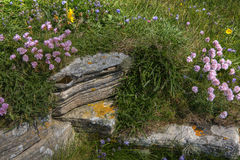 Wildflowers on a rocky hillside in Orkney, Scotland Stock Images