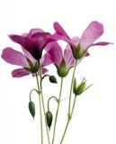 Wildflowers rosados imagen de archivo libre de regalías