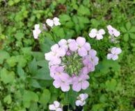 Wildflowers rosados de la primavera Fotografía de archivo