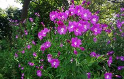 Wildflowers rosados, gran Willowherb, Epilobium Hirsutum Foto de archivo libre de regalías