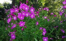 Wildflowers rosados, gran Willowherb, Epilobium Hirsutum Foto de archivo