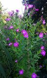 Wildflowers rosados, gran Willowherb, Epilobium Hirsutum Fotografía de archivo