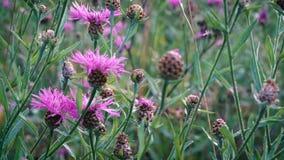 Wildflowers roses balançant légèrement dans le vent léger d'été dans le pré banque de vidéos