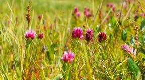 Wildflowers roses fleurissant dans un domaine Images stock