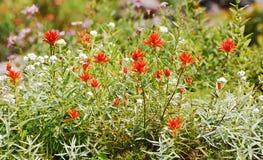 Wildflowers rossi del pennello indiano Fotografia Stock