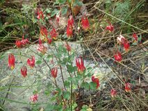 Wildflowers rouges, Columbine rouge sauvage images stock