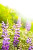 Wildflowers roxos Imagens de Stock Royalty Free