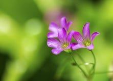 Wildflowers roxos delicados imagens de stock royalty free