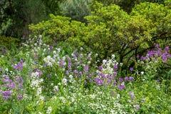 Wildflowers roxos e brancos no campo Imagens de Stock