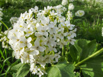 Wildflowers s'élevant sur le bâti Sulaiman-Too dans la ville d'Osh Photographie stock