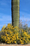 Wildflowers and Saguaro Royalty Free Stock Photos