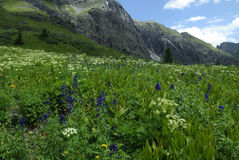 Wildflowers in San Juan Mountains in Colorado Royalty Free Stock Photo