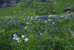 Wildflowers in San Juan Mountains in Colorado Stock Image