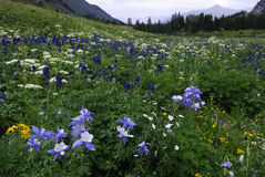 Wildflowers in San Juan Mountains in Colorado Royalty-vrije Stock Fotografie