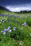 Wildflowers in San Juan Mountains in Colorado Stock Foto's