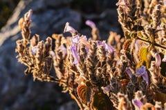Wildflowers the scientific name Dichroa febrifuga Lour. Stock Images